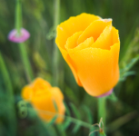 Why paying attention matters: California Poppy